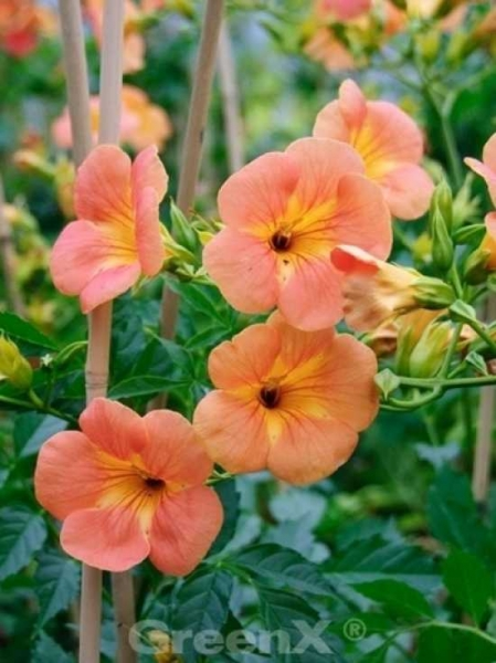 Campsis grandiflora / Chinesische Trompetenblume