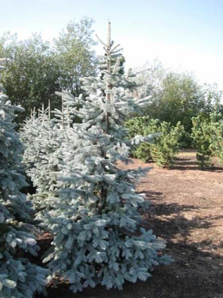 Picea pungens 'Hoto' / Stechfichte 'Hoto'