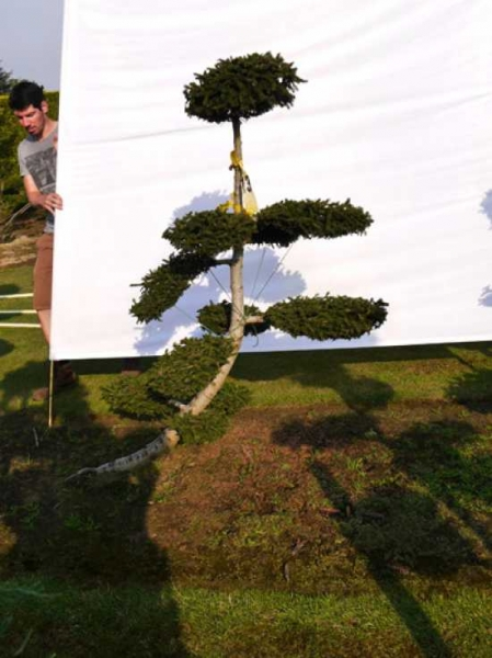 Picea orientalis 'Aurea' H: 170 cm B: 130 cm / Garten-Bonsai (0080)