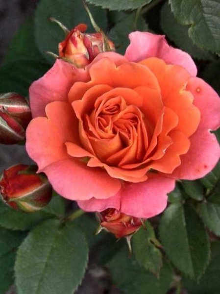 Rosa 'Cumba Meillandina ®' / Zwergrose 'Cumba Meillandina'