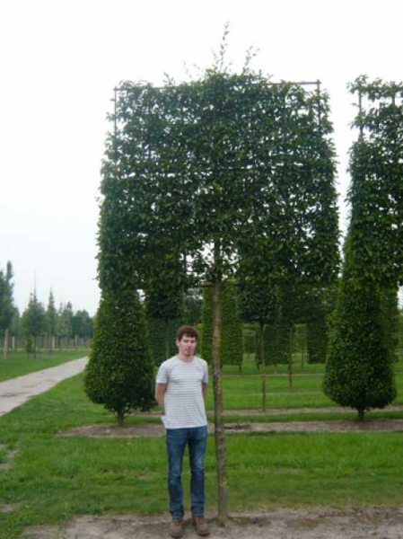 Carpinus betulus / Hainbuche / Weißbuche 'Hochstamm-Spalier' H:210 B:220 T:20 (Stamm 230 cm)