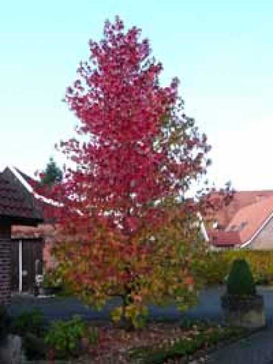 liquidambar styraciflua amerikanischer amberbaum guldenbaum g nstig bestellen baumschule. Black Bedroom Furniture Sets. Home Design Ideas