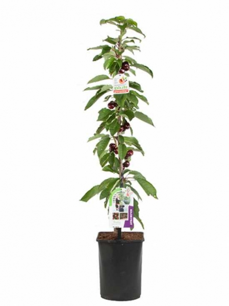 Prunus 4Sure 'Sweet Cherry' / Säulenkirsche 'Sweet Cherry'