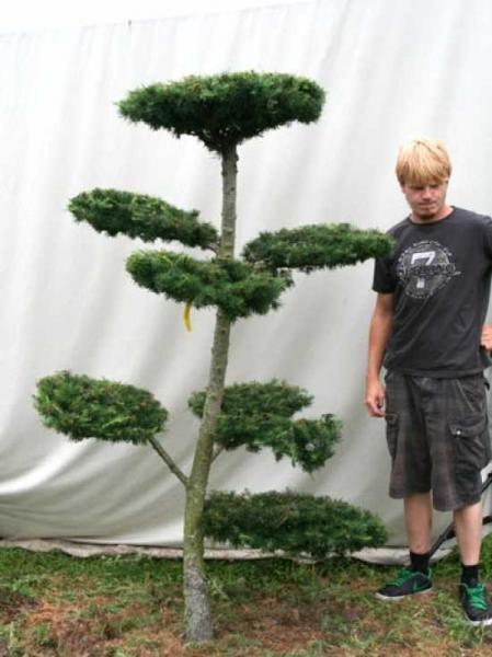 Larix decidua H: 200 cm B: 120 cm / Garten-Bonsai (801105)