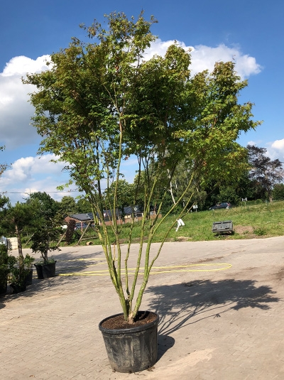 Acer palmatum 'Asahi-zuru' / Japanischer Fächerahorn 'Asahi-zuru' (7113)