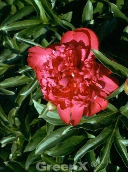 Paeonia lactiflora 'Karl Rosenfield' / Edelpfingstrose