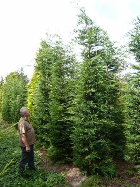 Cupressocyparis leylandii / grüne Bastardzypresse 400-450 cm Solitär mit Drahtballierung