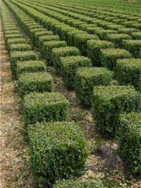Buchsbaum Quader