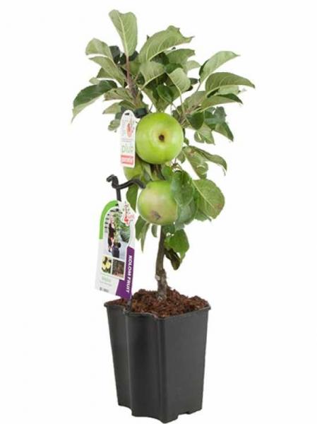 Malus 4Sure Yellow Apple' / Säulenapfel 'Yellow Apple'