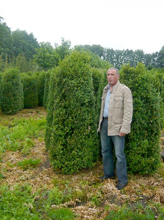 Buxus sempervirens / Buchsbaum Einfassung 180-200 cm Solitär mit  Drahtballierung günstig kaufen