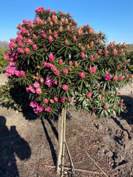 Rhododendron ponticum 'Graziella' auf Stamm / Pontischer Rhododendron 'Graziella' auf Stamm
