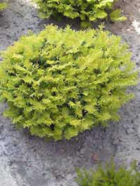 Taxus baccata 'Summergold' / gelbe Kissen-Eibe / gelbe Tafel-Eibe