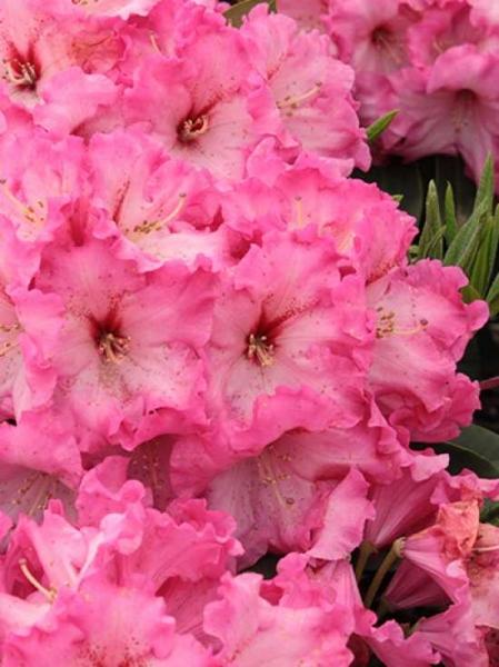 Rhododendron Hybride 'Maulbronn' / Rhododendron 'Maulbronn'