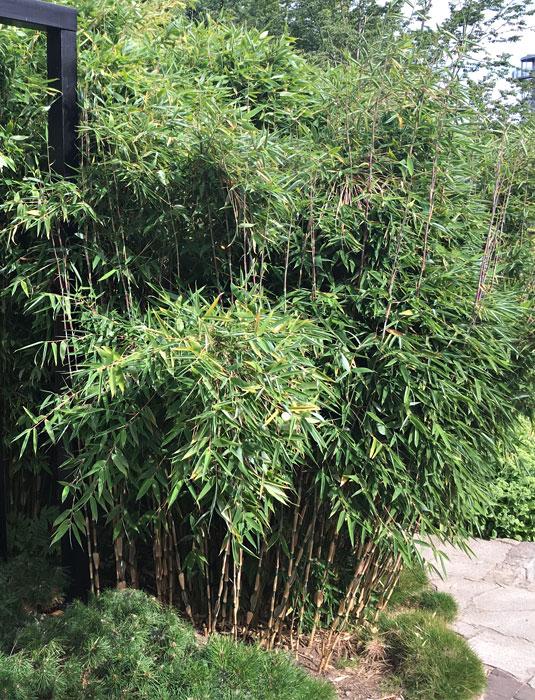 Bambus Fargesia Red Zebra