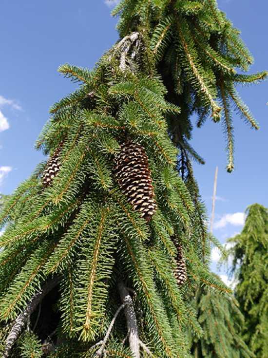 Picea Abies Inversa Hänge Fichte Inversa Günstig Kaufen
