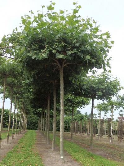 Platanus acerifolia 'Dachform'  / Platane / Dach-Platane (440 cm Stamm)
