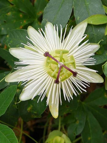 Passiflora caerulea 'Constance Elliot' / Passionsblume 'Constance Elliot'