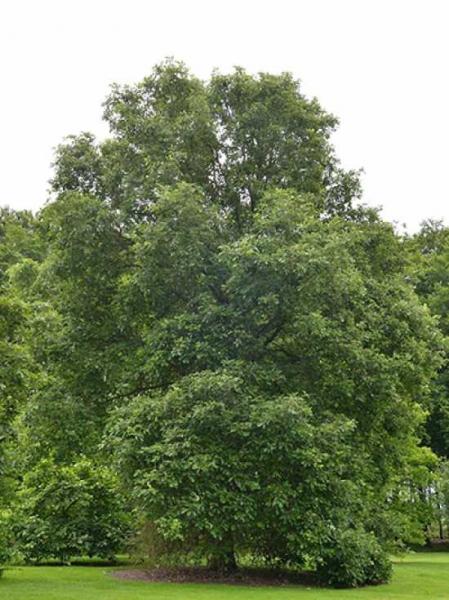 Quercus bicolor / Zweifarbige Eiche