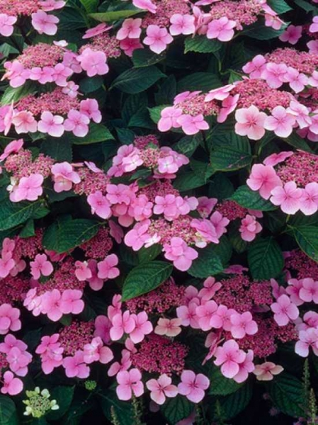 Hydrangea macrophylla 'Mariesii Perfecta' / Teller-Hortensie 'Mariesii Perfecta'