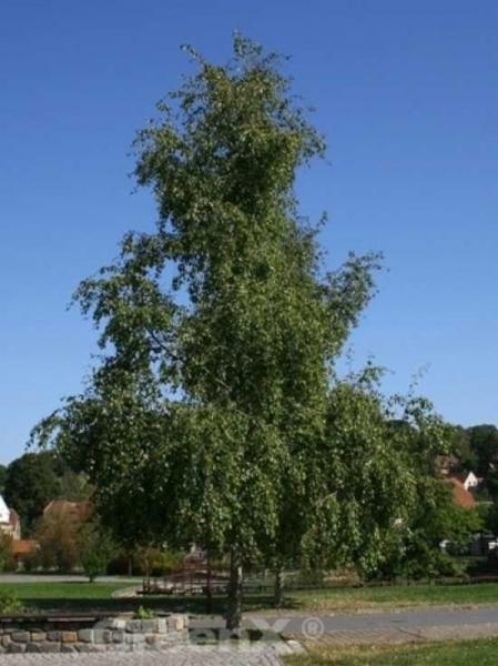 Populus simonii / Birken-Pappel