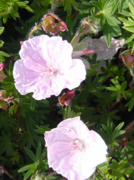 Geranium sanguineum var. Striatum / Garten-Blut-Storchschnabel