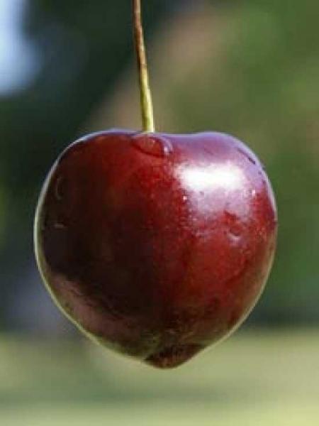 Prunus avium 'Castor' / Süßkirsche 'Castor'