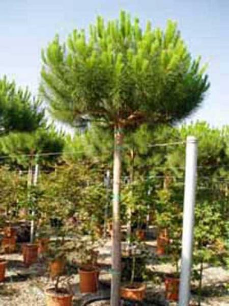 Pinus pinea / Italienische Stein-Kiefer / Mittelmeer-Kiefer / Schirmkiefer