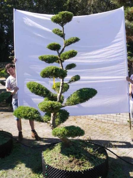 Juniperus media 'Hetzii' H: 200 cm B: 150 cm / Garten-Bonsai (301585)