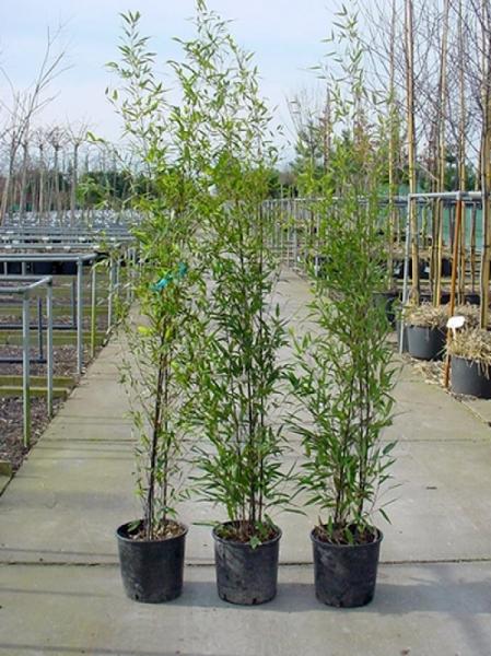 Phyllostachys nigra / schwarzer Bambus 150-175 cm im 12-Liter Container