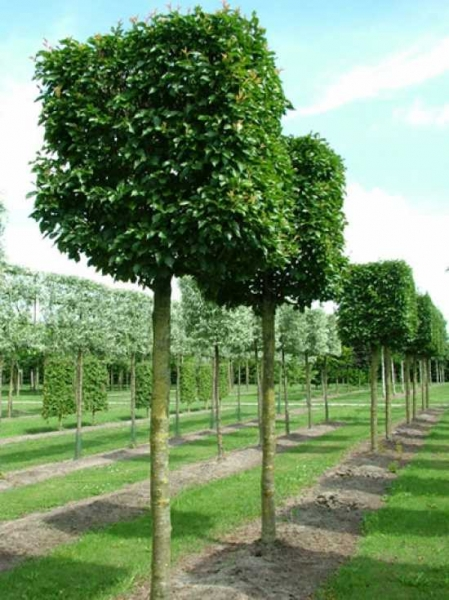 Prunus Umineko 'Kubus' / Zierkirsche 'Umineko' H:120 B:120 T:120 cm (230 cm Stamm)