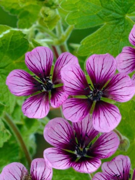 Geranium procurrens 'Salome' / Garten-Storchschnabel
