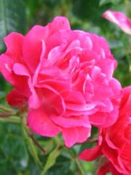 Rosa 'Heidefeuer ®' / Stammrose 'Heidefeuer'