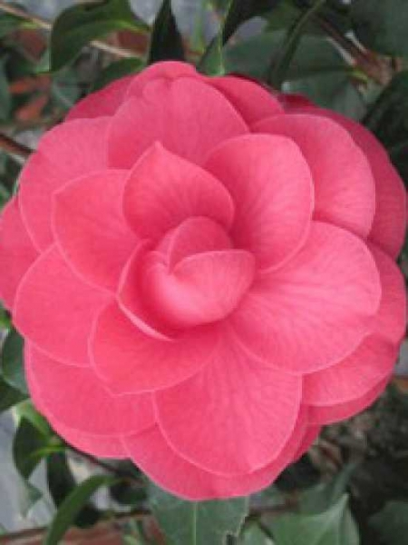 Camellia japonica 'Bella Lamberti' / Japanische Kamelie 'Bella Lamberti'
