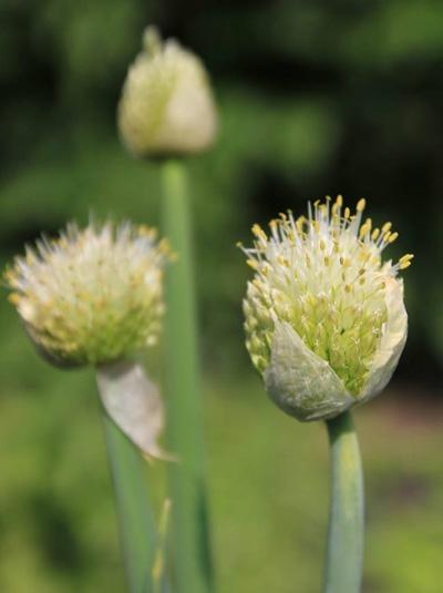 Allium fistulosum / Winterheckenzwiebel