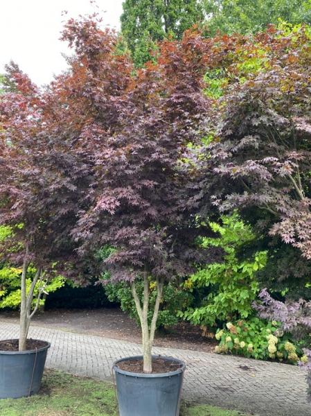Acer palmatum 'Bloodgood' Schirm 200-250 cm breit x 400-425 cm hoch / Fächer-Ahorn (Nr.453)