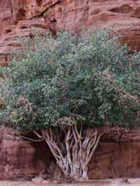Ficus carica / Echter Feigenbaum / Feige