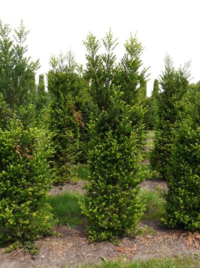 Ilex crenata 'Green Hedge' / Kleinlaubige Japan-Hülse 'Green Hedge' 200-250 cm Solitär mit Drahtballierung