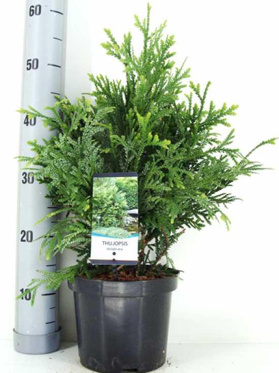 Thujopsis dolabrata Hibalebensbaum 80-100cm
