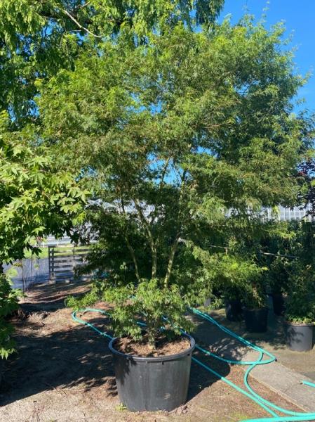 Acer palmatum 'Seiryu' / Japanischer Ahorn / Fächerahorn 'Seiryu' 150-200 breit x 275-300 hoch (Nr. 209)