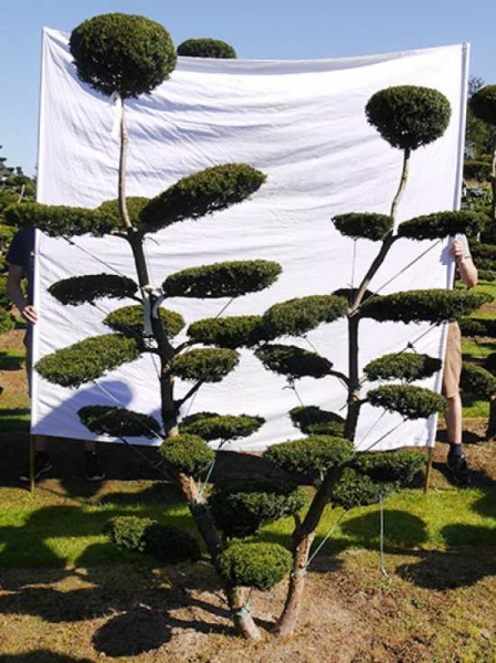 Taxus media 'Hillii' H: 240 cm B: 180 cm / Garten-Bonsai (0103)
