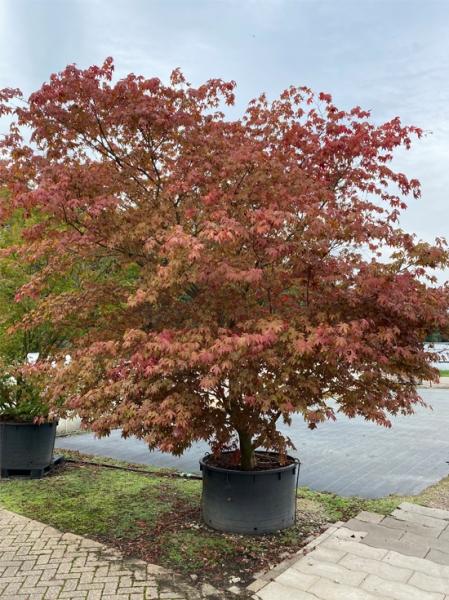 Acer palmatum 'Atropurpureum' 350-400 cm breit x 375-400cm hoch / Roter Fächerahorn (Nr.41)