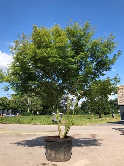 Acer palmatum 'Seiryu' / Japanischer Ahorn / Fächerahorn 'Seiryu' 300-350 cm (7111)