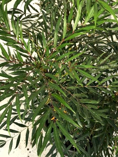 Mahonia eurybracteata 'Sweet Winter' ® / Mahonie 'Sweet Winter' ® / Chinesische Mahonia eurybracteata 'Sweet Winter' ®