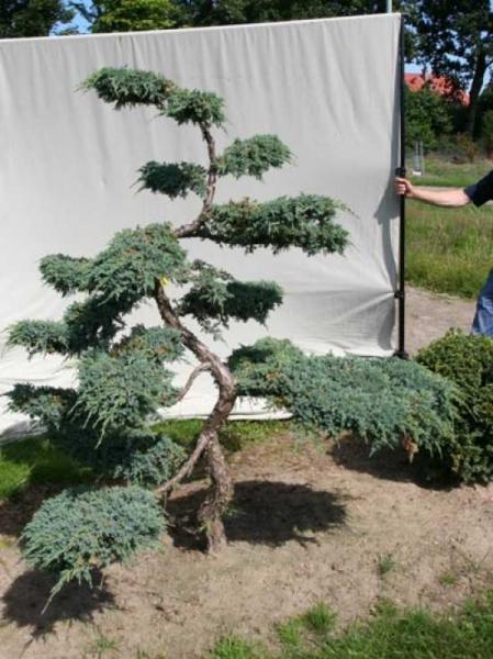 Juniperus squamata 'Blue Carpet' H: 200 cm B: 180 cm / Garten-Bonsai (306128)