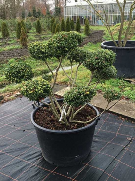ilex crenata 39 convexa 39 h 100 cm b 130 cm garten bonsai ng906 g nstig bestellen. Black Bedroom Furniture Sets. Home Design Ideas
