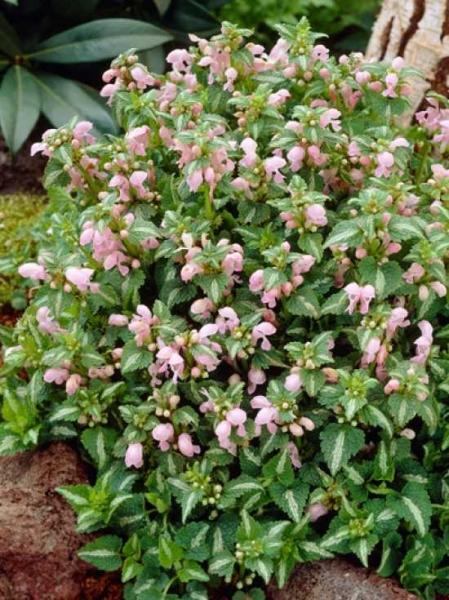 Lamium maculatum 'Shell Pink' / Taubnessel