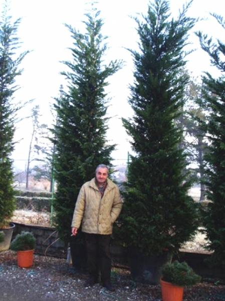 Cupressocyparis leylandii / grüne Bastardzypresse 350-400 cm im 100-Liter Container