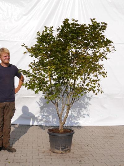acer palmatum 39 reticulatum 39 japanischer f cherahorn 39 reticulatum 39 175 200 cm 1073 g nstig kaufen. Black Bedroom Furniture Sets. Home Design Ideas