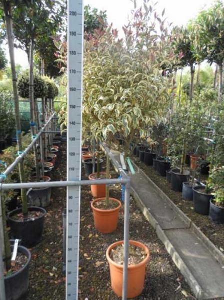 Ligustrum japonicum 'Variegatum' / Weißbunter japanischer Liguster