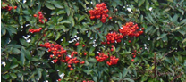 pyracantha_red_column1_kl